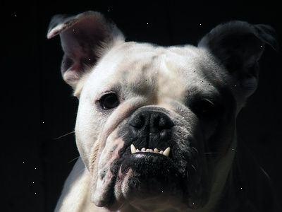 køb engelsk bulldog
