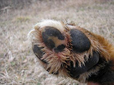 tørre poter på hund