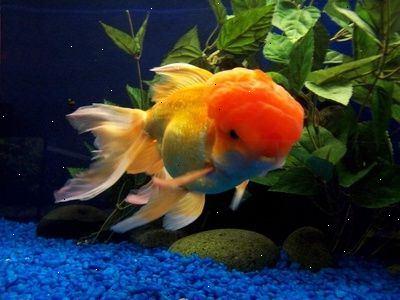 Guldfisk i akvarie