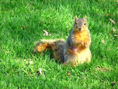 egern kæledyr