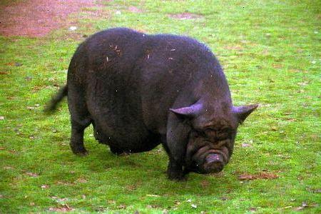 kæledyrs gris