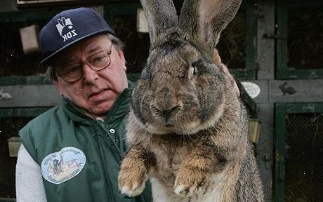 kanin kæledyr